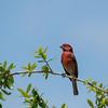 Red Finch-01450.jpg (mackjulian) Tags: bird redfinch texasbirds finch red