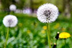 dandelions (uiriidolgalev) Tags: dandelions