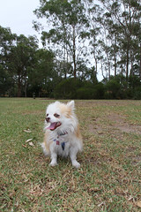 20180425-IMG_3208 (PM Clark) Tags: chihuahua pure bred long coat jezebel sydney australia