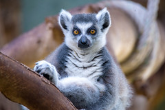 This brown eyes (Andriy Golovnya (redscorp)) Tags: ring tailed lemur ringtailedlemur katta munich münchen hellabrunn zoo bayern bavaria deutschland germany sunny cold day