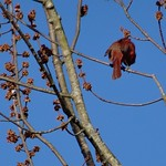 Cardinal In The Treetop thumbnail