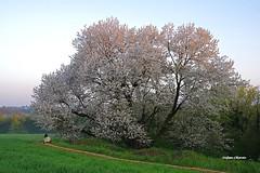 Il Grande Ciliegio (magico) (stefano.chiarato) Tags: ciliegio tree alberi fiori magico campagna countryside donna silenzio silence brianza lombardia italy pentaxart pentax pentaxlife pentaxk70