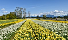 Tulips of the Valley Festival (Daffodils) (SonjaPetersonPh♡tography) Tags: tulipfestival tulipsofthevalleyfestival tulipsofthevalley chilliwack britishcolumbia bc fraservalley tulips daffodils landscape mountainlandscape tulipfields flowers gardens plants mountains scenery scenic blooms festival canada nikon nikond5300 fields