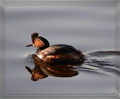 ((( Eared Grebe Reflection - II. ))) (Wolverine09J ~ 1.5 Million Views) Tags: waterfowl18andriverfoam earedgrebe waterfowl avianwildlife northamerican migratory nature swimming mississippiriver springtime minnesota waterreflection frameit~level01 feathersbeaks naturesgallery naturespotofgold level1thewondersofnature batslair level2thewondersofnature autofocuslevel1 level3thewondersofnature frameit~level02 sjohsons fauna sjohnsonsfauna autofocuslevel2 theperfectphotographer frameit~level03 autofocuslevel3 1goldwildlife autofocuslevel4