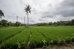 Banino_20180121-100155-30 (airbreather) Tags: rice field taman jaya palm tree paddy paddies crops farming agriculture sumur banten indonesia