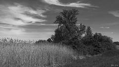Clouds, reed and trees - Wolken, Schilf und Bäume (b_kohnert) Tags: schwarzweis nature monochrome landscape einfarbig blackandwhite