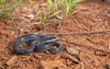Juvenile Northern Black Racer (cre8foru2009) Tags: select
