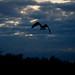 Osprey w/ Northern Pike