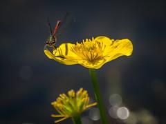 Large Red Damselfly (Maria-H) Tags: styal england unitedkingdom gb largereddamselfly pyrrhosomanymphula marshmarigold quarrybankmill cheshire uk olympus omdem1markii panasonic 100400
