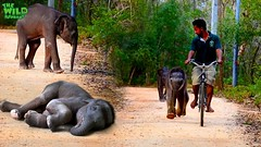 Baby elephants go out for a walk (THE WILD ELEPHANT) Tags: huge elephant rescue video youtube quite baby funny kids videos the wild wildlife news tv