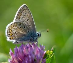 Polyommatus icarus (agnieszka.a.morawska) Tags: helios helios44m makro macrophotography macro dof bokehlicious beyondbokeh bkhq spring madraszek motyl butterfly