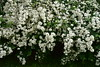 Valged pitsid (anuwintschalek) Tags: nikond7200 50mm 2018 april kevad frühling spring austria niederösterreich wienerneustadt blooming hekk hecke hedge valge weiss white valgedpitsid