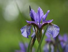 Iris. (agnieszka.a.morawska) Tags: helios helios44m garden spring macro dof bokeh bkhq bokehlicious nature blue flower irys iris