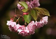 Japanese Cherry Blossom flowers. (Luke Hermans Photography) Tags: japanse kersen bloesem japanese cherry blossom tree flower bloem closeup close up garden tuin clingendael the hague den haag netherlands nederland nature natuur flowers bloemen canon canon750d