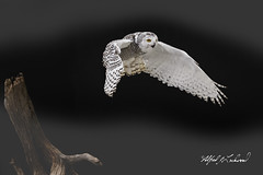 Snowy Owl_T3W2833 (Alfred J. Lockwood Photography) Tags: alfredjlockwood nature snowyowl female juvenile canadianraptorconservancy crc autumn morning overcast canada ontario