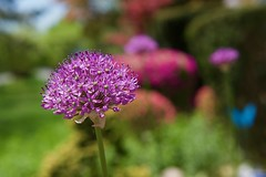 Alliums in bloom! (ineedathis, Everyday I get up, it's a great day!) Tags: allium flowers plant garden nature spring purple green azaleas trees bushes shrubs bokeh macro nikond750