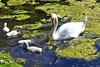 Schwanenfamilie in der Rheinaue (mama knipst!) Tags: schwan swan wasservogel vogel bird