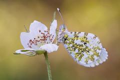 Anthocharis cardamines (Prajzner) Tags: anthocharis cardamines anthochariscardamines orangetip butterfly bokeh berlebach novoflexcastelxqii sigma105mmmacro nikond7100 nature focusstacking