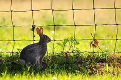Bunny 1 (Autophocus) Tags: bunny hare rabbit animal mammal feral fur ears eyes vegetation grass nature wild