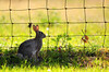 Bunny 1 (Autophocus) Tags: bunny hare rabbit animal mammal feral fur ears eyes vegetation grass nature wild