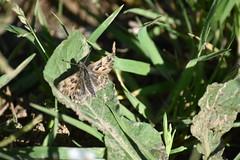 Hesperiidae (esta_ahi) Tags: olèrdola penedès barcelona spain españa испания mariposa papallona butterfly lepidoptera insectos fauna hesperiidae