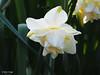 white lion (mark.griffin52) Tags: olympusem5 england buckinghamshire cheddington garden spring whitelion narcissus flower