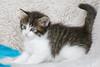 NL* Titran's Orlando male kitten black tabby blotched & high white 5.5 weeks old (Titran's Norsk Skogkatt) Tags: nfo cat kitten chat chaton titran titrans waldkatze noor norvégien boskat norweger norge norway wegie