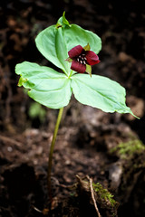 bigsouthfork_3820 (jcbonbon) Tags: april big south fork tennessee park spring wildflower trillium burgundy