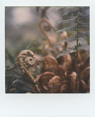 Spring Spirals (Skink74) Tags: colorsx70 england film hampshire hursley impossibleproject instant polaroid polaroidlandcamera sx70 sx70alpha1se uk roidweek polaroidweek2018 impossible fern spiral vernation circulatevernation spring growth