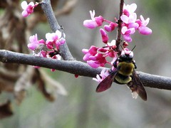 let's do lunch.... (rdedks2011) Tags: bumblebee bug spring
