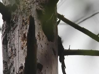 Black Woodpecker/Zwarte specht female/vrouw