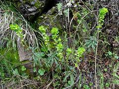 Mandelblättrige Wolfsmilch - Euphorbia amygdaloides, NGID191728697 (naturgucker.de) Tags: ngid191728697 naturguckerde mandelblättrigewolfsmilch euphorbiaamygdaloides 649561984 2128523129 828140399 chorstschlüter