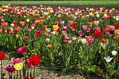 Freitag ist Blumentag (Helmut Reichelt) Tags: blumentag tulpenfeld blumen tulpen frühling april gerestried bayern bavaria deutschland germany leica leicam typ240 captureone11 dxophotolab leicasummilux50mmf14asph