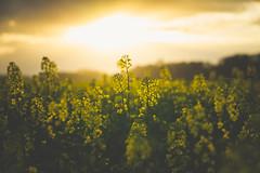 Alive In New Light (der_peste (on/off)) Tags: fieldofrape rape yellowrape spring sun sunset clouds bokeh dof blur depthoffield haze canola
