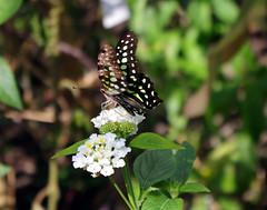 IMGP9151 (Steve Guess) Tags: museum horniman forest hill london england gb uk butterflys butterflies house flowers