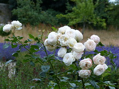 Scented Dream (Marit Buelens) Tags: rose white purple blue lavender scent knotgarden trerice nationaltrust kestlemill newquay cornwall england manor fz200
