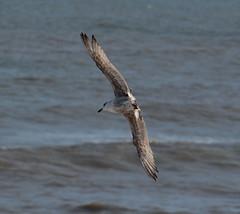 Herring Gull (Lanius Excubitor) Tags: herring gull nikon seabird cliff
