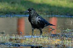 AMERICAN CROW 13 (k.nanney) Tags: americancrow corvusbrachyrhychos crow corvid birds texasbirds texaswildlife joepoollake cedarhillstatepark dallascounty texas nikon d800 tamronsp150600mmf563divcusd kennethnanney kennanney nanney