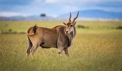 Beautiful Common eland - eland antelope (ラルフ - Ralf RKLFoto) Tags: kenia kenya masaimara narok natur safari tiere animals wildlife eland antilope common