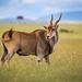 Beautiful Common eland - eland antelope