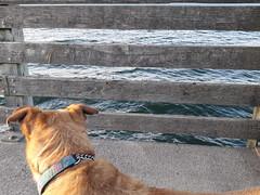 Rosie observes the waves of Puget Sound, wharf, brown, green, gray, Dash Point, Washington, USA (Wonderlane) Tags: 20180424192227 rosieobservesthewavesofpugetsound wharf dashpoint washington usa rosie observes waves puget sound pugetsound brown green gray