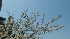 Cherry blossom (FinouCat) Tags: orgues illessurtêt pyrénéesorientales france
