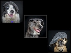 Northern Dogs (Chris Willis 10) Tags: dog pets animal canine puppy purebreddog friendship mammal cute domesticanimals mixedbreeddog blackcolor looking terrier small paw humor dogs alf will omar triptych flapcap hat