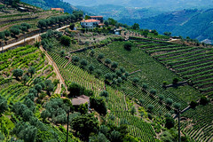 Port vineyards (Tati@) Tags: porto vino vigne quinta wineproducingestate portvineyards portwine altodouro portugal