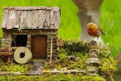 robin (4) (Simon Dell Photography) Tags: robin red breast bird nature wildlife uk sheffield garden old english country spring cute funny model micro cottage stone wall grind simon dell photography 2018 april summer