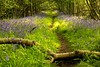A more conventional look at bluebells (odell_rd) Tags: bluebells log odellgreatwood path coth5 ngc npc