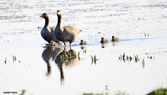 J78A0025 (M0JRA) Tags: birds flight flying wildlife rats walks gardens parks fields trees lakes ponds ducks swans rspb