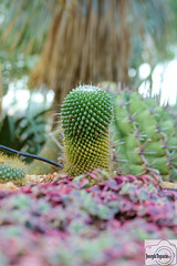 Cactus (joseph.topacio) Tags: canon 650d t4i eos rebel ef eflens 28135mm ultrasonic cactus cacti succulent plany plant singapore bokeh photograph pinoy philippine ofw green nature flower flowerdome dome gardensbythebay garden bay thorns spike