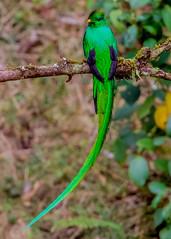 Resplendent Quetzel, (Pharomachrus mocinno), Costa Rica (donnatopham) Tags: quetzal replendent paraisoquetzal paraiso costarica