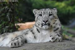 Snowleopard - Zoo Amneville (Mandenno photography) Tags: animal animals amneville zoo zooamneville france frankrijk bigcat big cat snow leopard leopards snowleopard dierenpark dierentuin dieren ngc nature